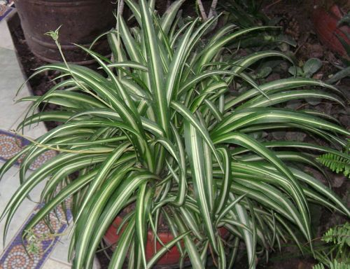 Spider plant. Source: Wikipedia.