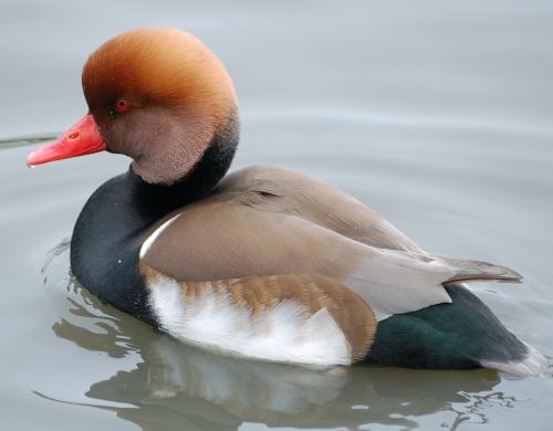 Red-crested.pochard.slimbridge.arp