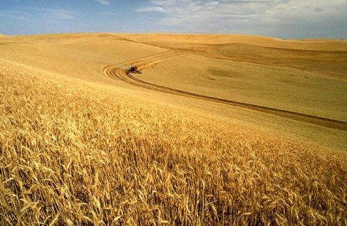 A wheat field in Idaho