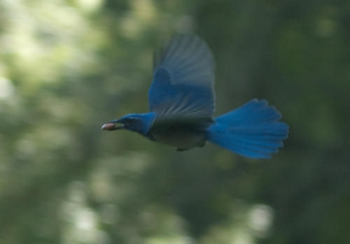 Scrub Jay in Flight