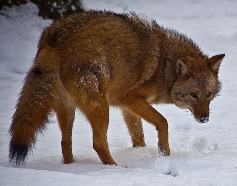 800px-Coyote-face-snow_-_Virginia_-_ForestWander